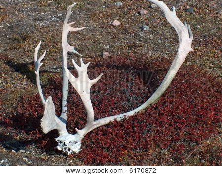 Caribou Rack bleaches and forgotten by Inuit hunters in the summer of 2005 poster