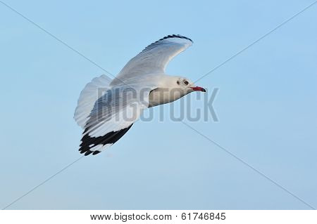 Seagull Is Flying During Sunset