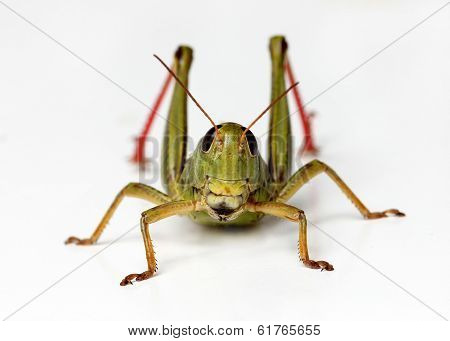 Front view of grasshopper