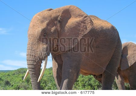 African Elephant close up poster