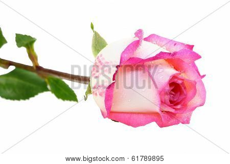 Pink Fresh Rose Isolated On A White Background