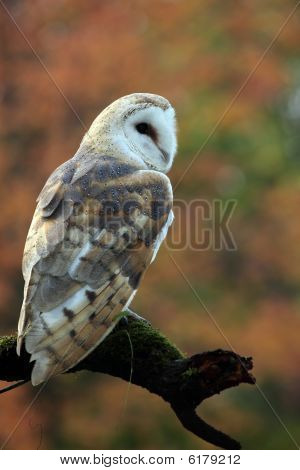 Closeup of a Barn Owl against blurred autumn background. poster