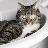 Tiger cat relaxing in a sink and looking out saying here is my restroom poster