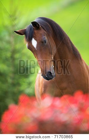 Bay horse head on green background, Trakehner stallion.