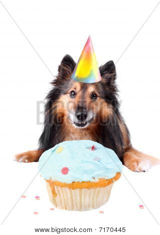 Sheltie or Shetland sheepdog with party hat and frosted cupcake celebrating a birthday poster