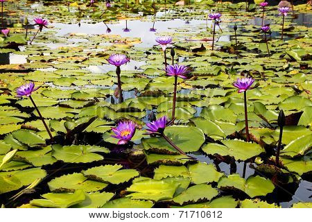 Water Lilies on Display