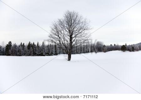 Barren Tree In The Snow