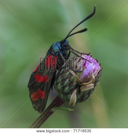 Zygaenidae