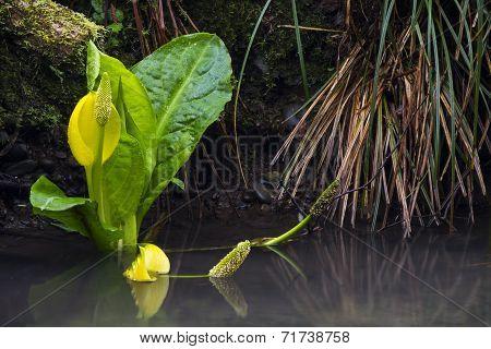 Western Skunk Cabbage