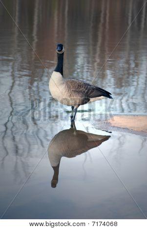 Canadian Goose (Branta Canadiensis)