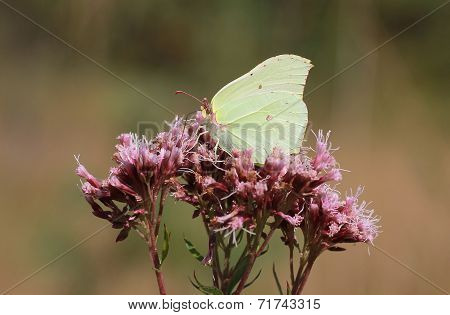 Brimstone Butterfly On Wild Origanum Flower