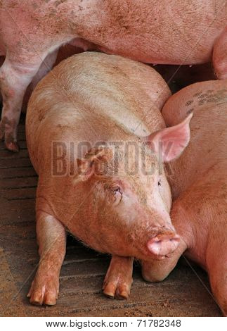 Breeding Of Pigs In The Sty Of The Breeder Farm