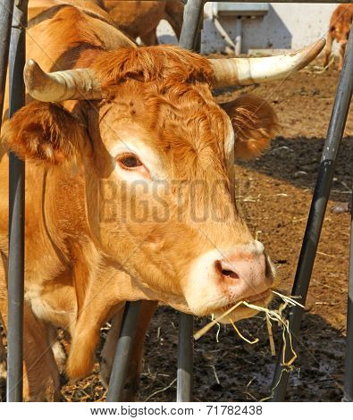 Cow Eat Straw And Hay In The Barn Of The Farm