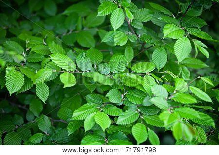 Elm Leaves - Natural Green Background