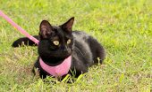 Small black cat wearing pink harness in green grass poster