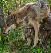 Grey Wolf (Canis lupus) Mother and Pup - captive animals poster