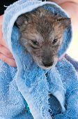 Grey Wolf (Canis lupus) Pup Not Enjoying Post Bath Rubdown - captive animal poster