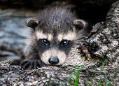 Baby Raccoon (Procyon lotor) Stares at Viewer - captive animal poster