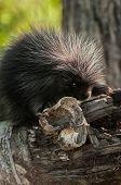 Baby Porcupine (Erethizon dorsatum) with Birch Curl - captive animal poster