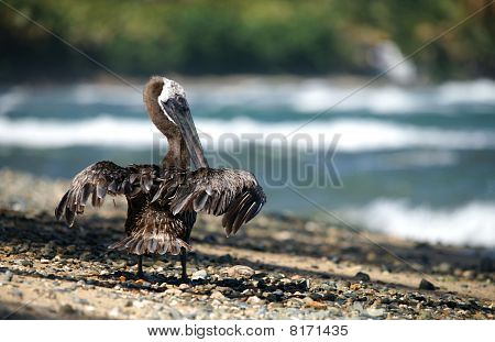 Back shot of a pelican drying feathers on the beach poster