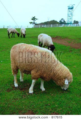 Sheeps taking break in the farm. poster