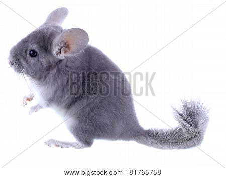 Gray Ebonite Chinchilla On White Background.