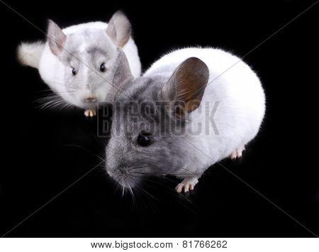 Couple Of White Ebonite Chinchilla On Black