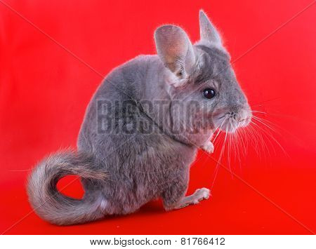 Valuable fur animal - ebonite chinchilla on background. poster
