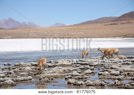 Vicugnas in Altiplano, Andes in Bolivia