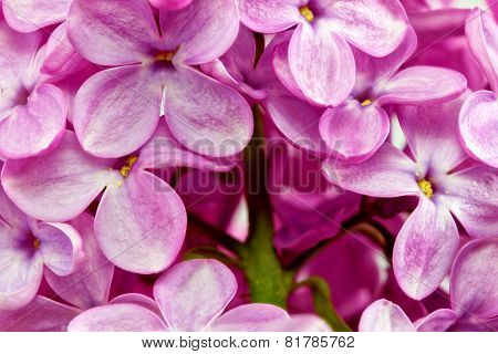 Beautiful Bunch of Lilac flowers  close-up  . poster