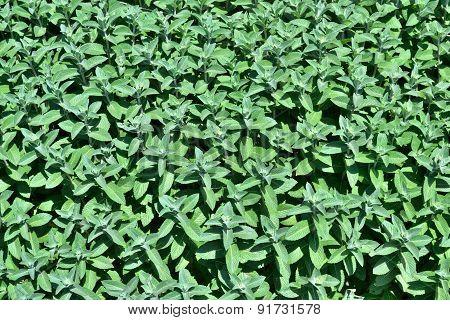 Peppermint Plantation