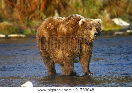 kodiak brown bear