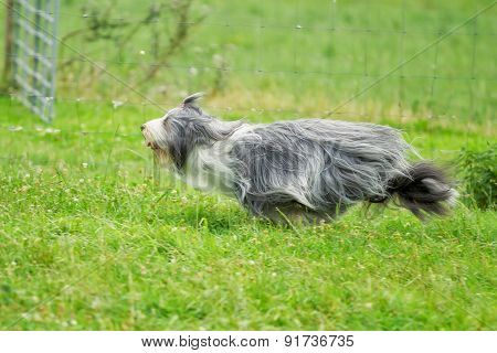 Running Bearded Border Collie Dog