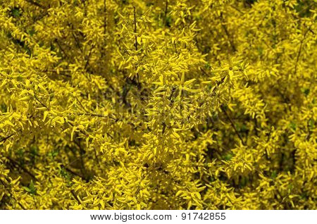 Blooming Forsythia Bush As The Background.