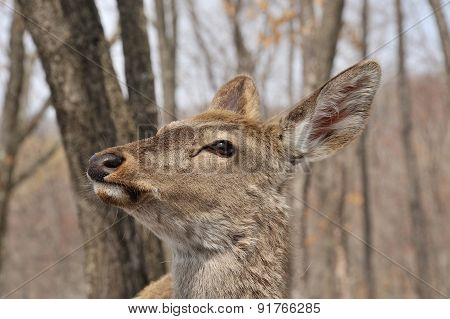 Face Of Deer