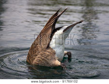 Diving Canada Goose