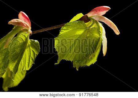 Linden Twig In Spring