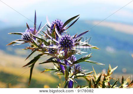 beautiful blue bur flower taken in the apennines. Italy poster