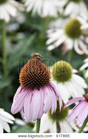 Mating On Cone Flower