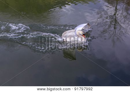 Beautiful Big White Cob