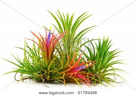 Tillandsia on white background.