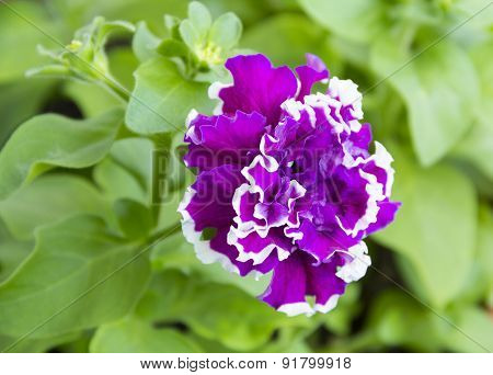 Petunia Grandiflora Terry