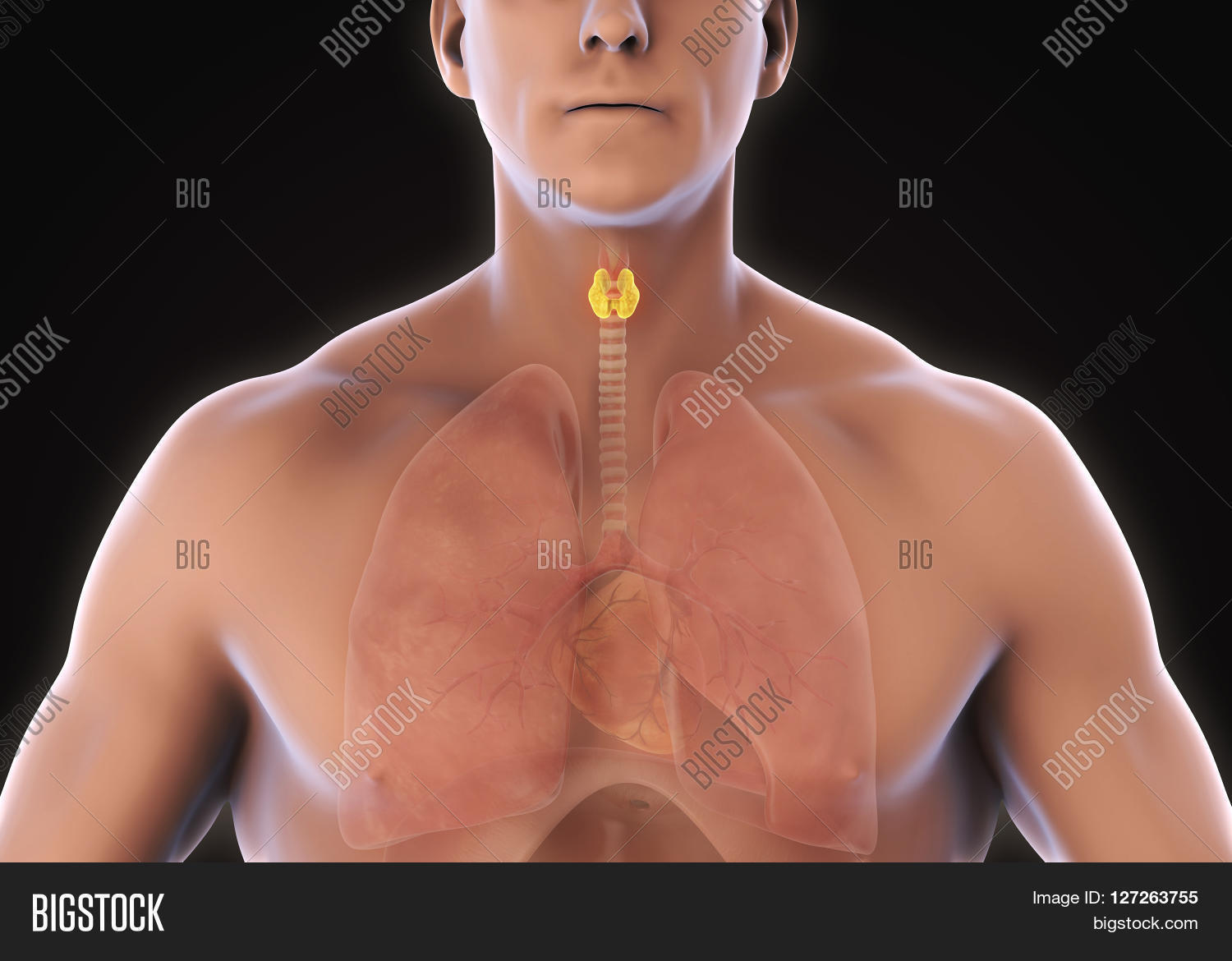 Human Thyroid Gland Image & Photo (Free Trial) | Bigstock