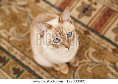 Beige Mekong cat on the soft carpet