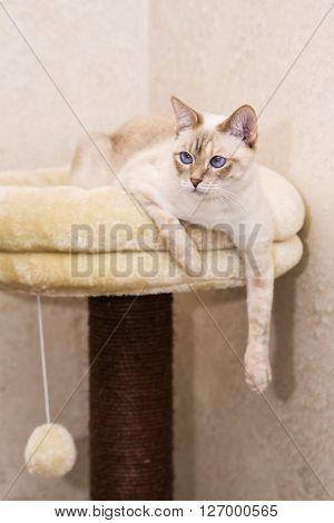 Grown up female white Mekong bobtail cat