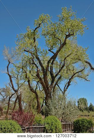 Large old cottonwood tree, on a beautiful day in New Mexico  also called alamo