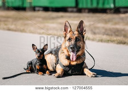 Brown German Sheepdog And Black Miniature Pinscher Pincher Sitting Together On Road
