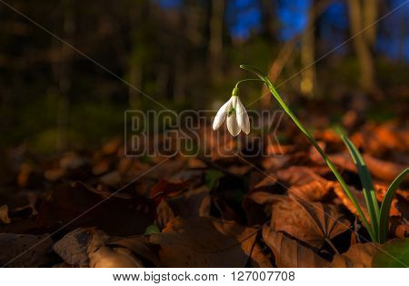 Artistic blur effect of beautiful wild snowdrop flowers, Galanthus nivalis in the forest, on a sunny spring day