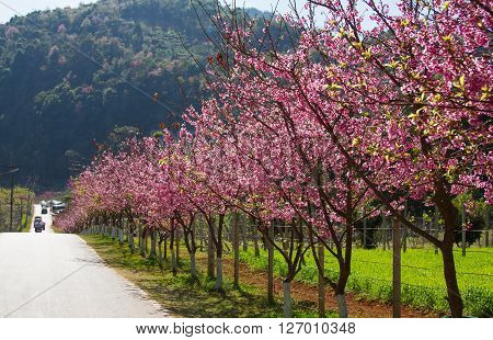 Pink sakura with beautiful road Doi Ang Khang, Chiang Mai , Thailand