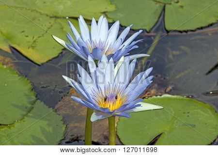 Pale Blue Lotus Flowers In Lilly Pond
